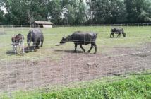 Festetics Állatpark - Bivalyok